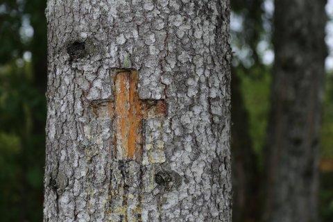 Ristipuu. Foto Pikne Kama
